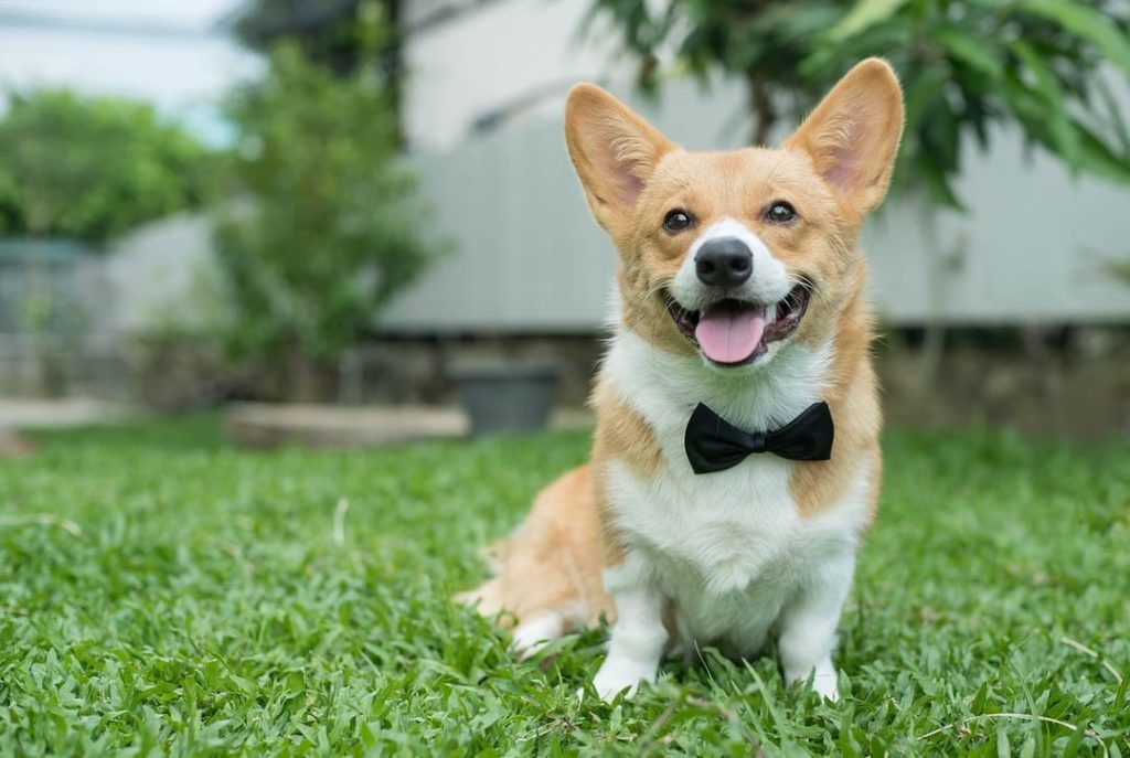 Corgi sitting on the grass with a bow tie